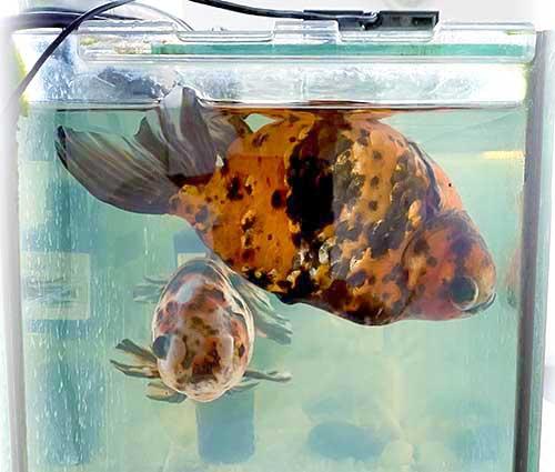 金魚の転覆病